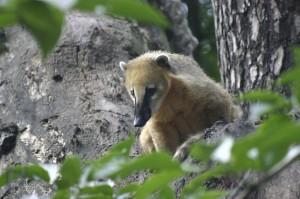 Adult coati on a tree