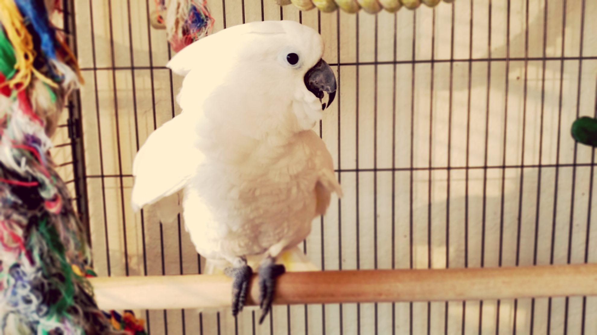Sydney the Cockatoo